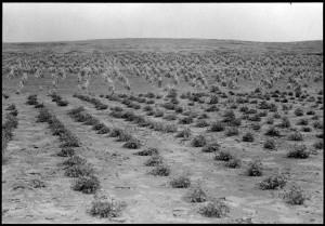 Beans and corn Sam Shing's farm 15 miles SW of Toreva Day School, October 1,1944.  HCPO.PH.2003.1.HA3.2