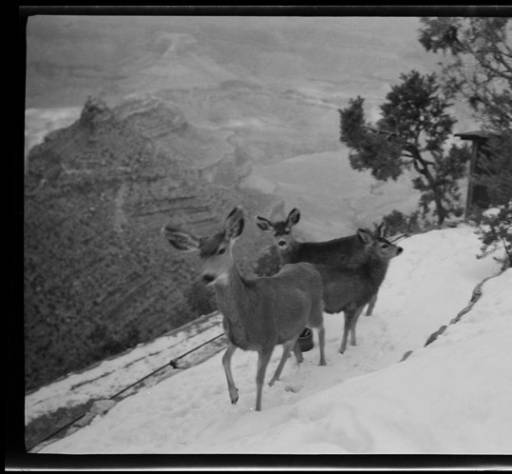 """Doe mule deer and a fawn on the Bright Angel Trail in the winter snow</br><a href=""""http://archive.library.nau.edu/cdm/ref/collection/cpa/id/68741"""" target=""""_blank"""">Emery Kolb Collection NAU.PH.568.2618/a>"""