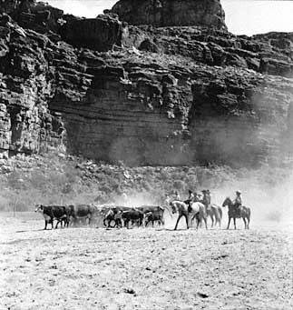"Supai - Round-up pic on rodeo ground 8/41. Havasupai men and boys work stock along the sand floor of their canyon reservation, 3000 feet below the rim of the Grand Canyon. </br><a href=""http://archive.library.nau.edu/cdm/ref/collection/cpa/id/5636"" target=""_blank"">Bill Belknap Collection 	NAU.PH.96.4.11.8</a>"