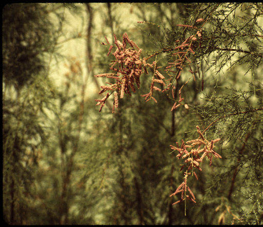 """Tamarisk blossoms, Grand Canyon.</br><a href=""""http://archive.library.nau.edu/cdm/ref/collection/cpa/id/21720"""" target=""""_blank"""">Margaret Eiseman Collection NAU.PH.2004.8.2.72a.78</a>"""