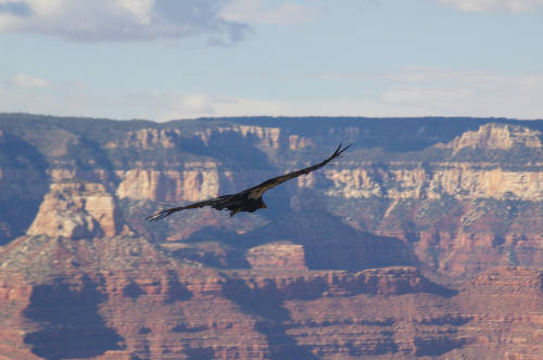 """[The largest land bird in North America and one of the rarest birds in the world- a California Condor soars above Grand Canyon National Park, July, 2008] </br><a href=""""http://archive.library.nau.edu/cdm/ref/collection/cpa/id/108501"""" target=""""_blank"""">Joseph J Dienes III Collection NAU.PH.2010.45.7</a>"""
