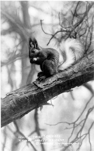 "White Tail Squirrel. Kaibab Forest, Arizona</br><a href=""http://archive.library.nau.edu/cdm/ref/collection/cpa/id/99814"" target=""_blank"">Warren Family Collection 	NAU.PH.412.5.70</a>"