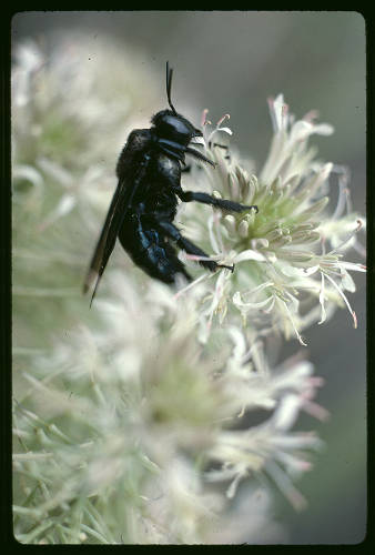 """Beetle on milkweed, Grand Canyon </br><a href=""""http://archive.library.nau.edu/cdm/ref/collection/cpa/id/120249"""" target=""""_blank"""">John Running Collection NAU.PH.2013.4.1.21.27.228</a>"""