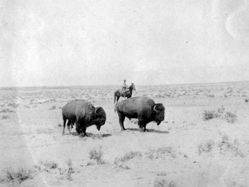 """[Bison to be cross-bred with Galloway cattle] </br><a href=""""http://cdm16748.contentdm.oclc.org/cdm/ref/collection/cpa/id/10069"""" target=""""_blank"""">Edwin Jessop Collection NAU.PH.2009.12.2.77</a>"""