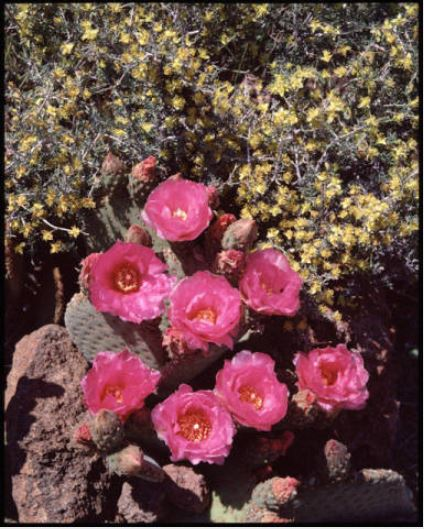 "Desert Neighbors at Springtime. Arizona's Strip. Brilliant flowers of the Beavertail cactus and the yellow blossoms of Blackbrush combine to make a striking portrait in the desert region of the southwest. [Photographer's caption] </br><a href=""http://archive.library.nau.edu/cdm/ref/collection/cpa/id/17086"" target=""_blank"">Josef Muench Collection NAU.PH.2003.11.62.M7096</a>"