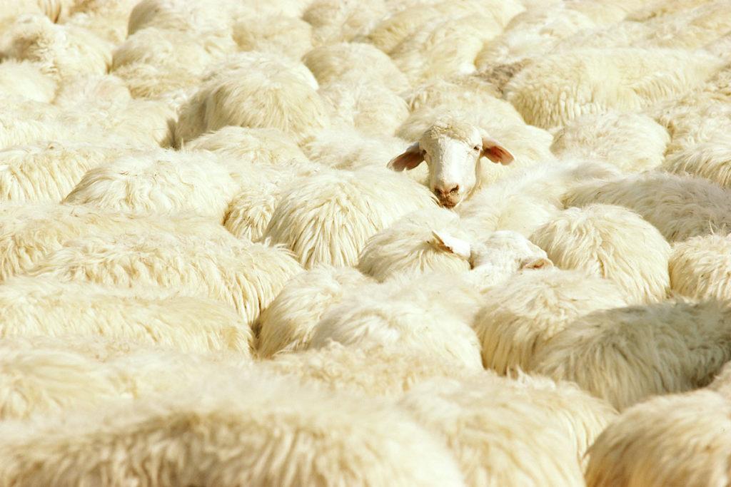 Lone Sheep Among Many